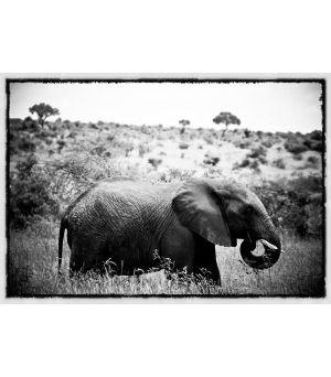 Obraz Elephant